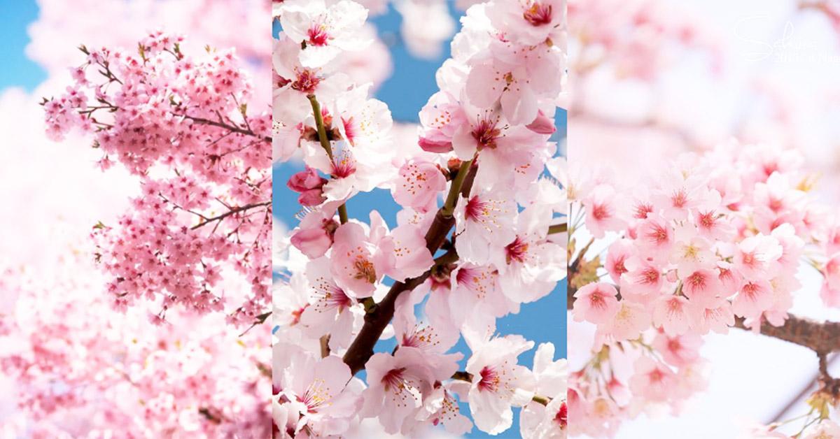 2019日本賞櫻名所總整理!5個美哭人心的花見好去處