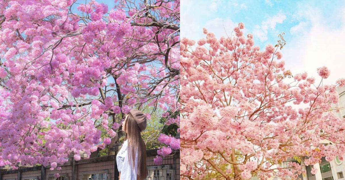 網友直呼比櫻花更壯觀!IG特搜全台「洋紅風鈴木」盛開這10處