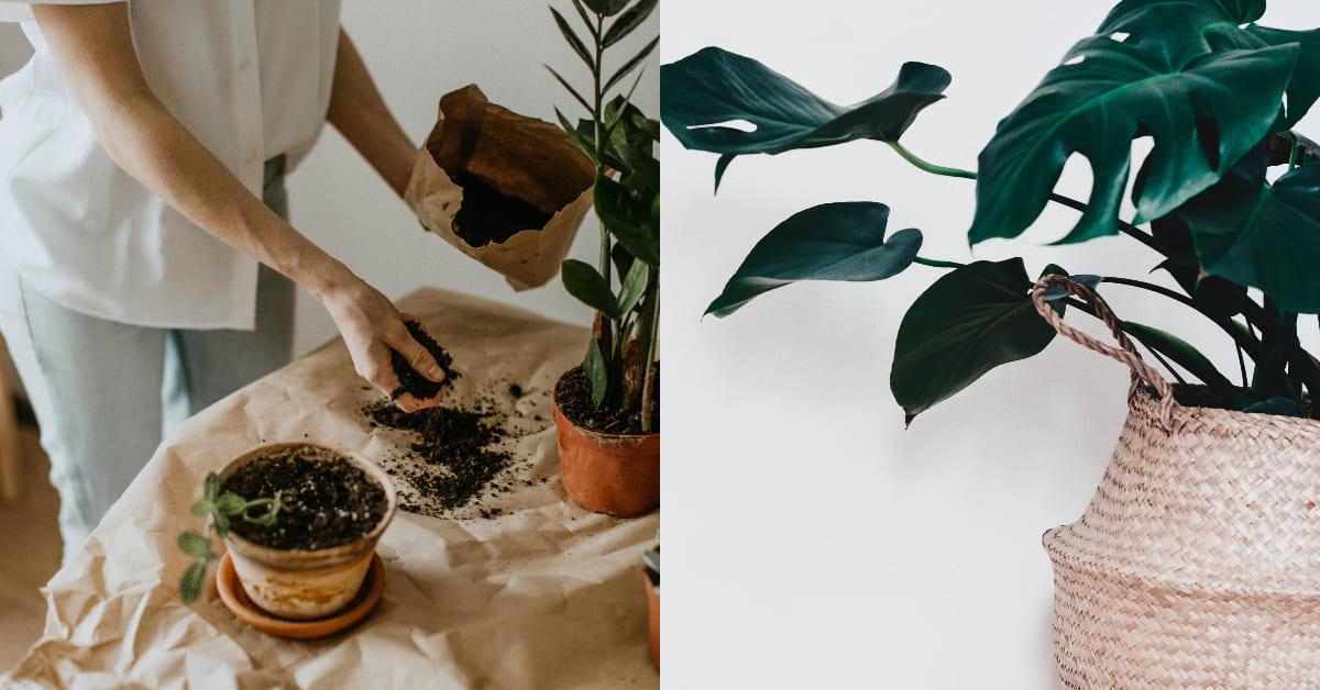 室內小盆栽推薦這5種 !新人種植「黃金葛」最好養 ,虎尾蘭幫你吸收8成有害空氣