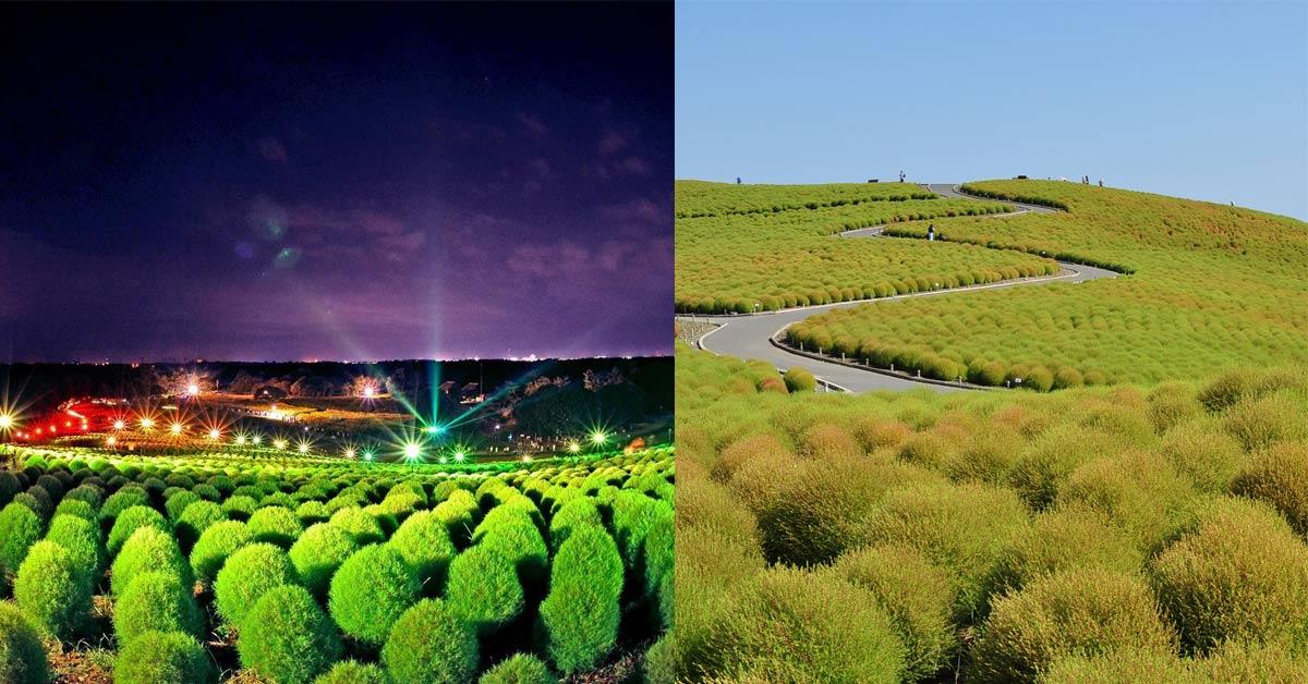 誰說一定賞花才夠美?不如去日本茨城賞一年四季變換色彩的「掃帚草」!