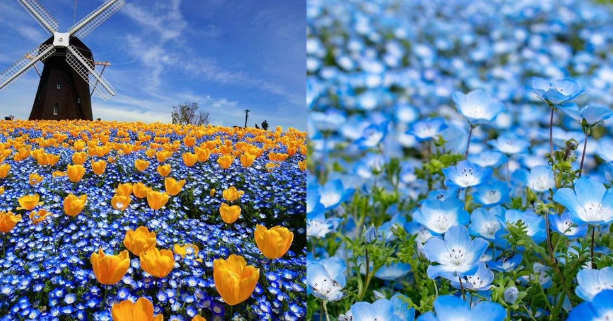 不要只知道櫻花與海芋!日本四、五月必賞「粉蝶花」這5處夢幻綻開