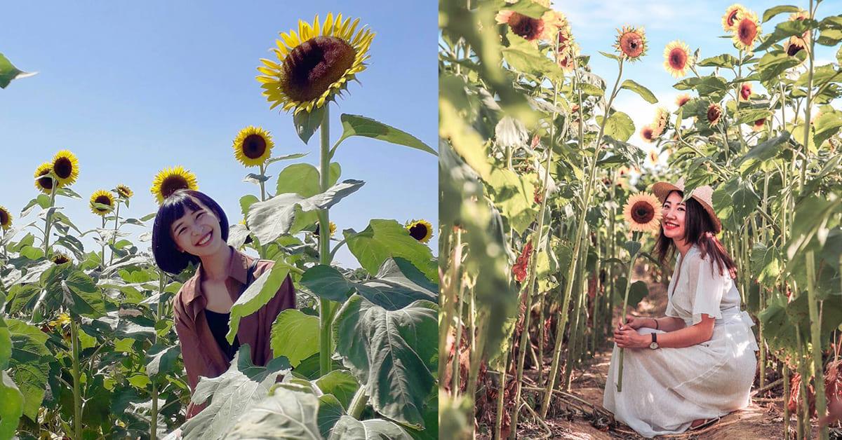 金黃色花海是太陽的浪漫!北台灣3個超熱門「向日葵景點」只美到10月底