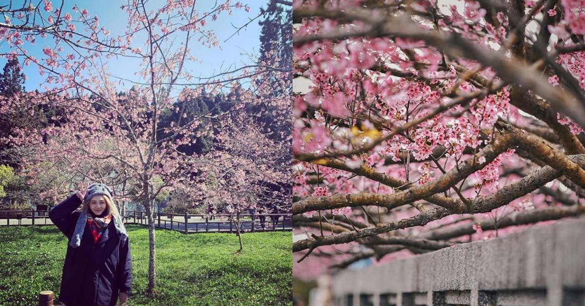 2020粉紅櫻花季開跑!全台5處「特色賞櫻景點」推薦,漫步櫻花林走春、野餐超浪漫