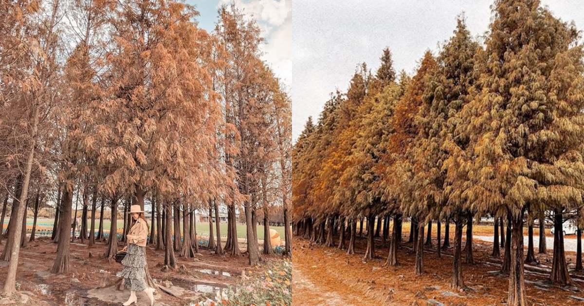 台南景點推薦!隱身田園邊的六甲菁埔埤「落羽松秘境」,彷彿來到浪漫歐洲森林
