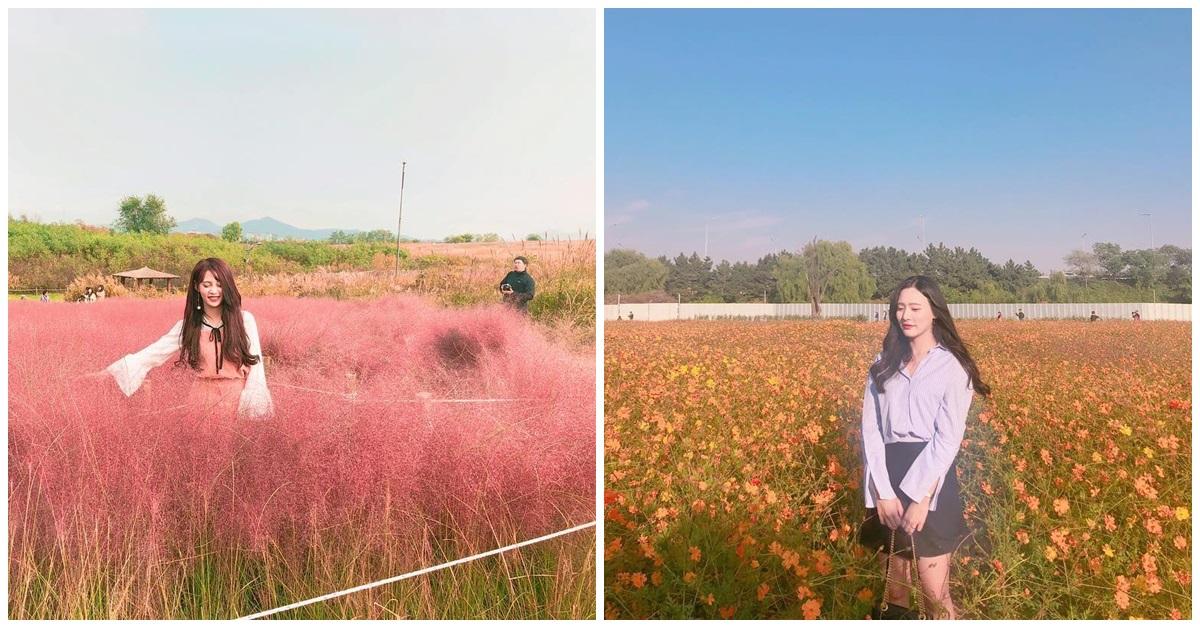 秋天還在賞楓嗎? 韓國超唯美花海,粉色芒草、金色大道讓你怎麼拍都仙氣十足