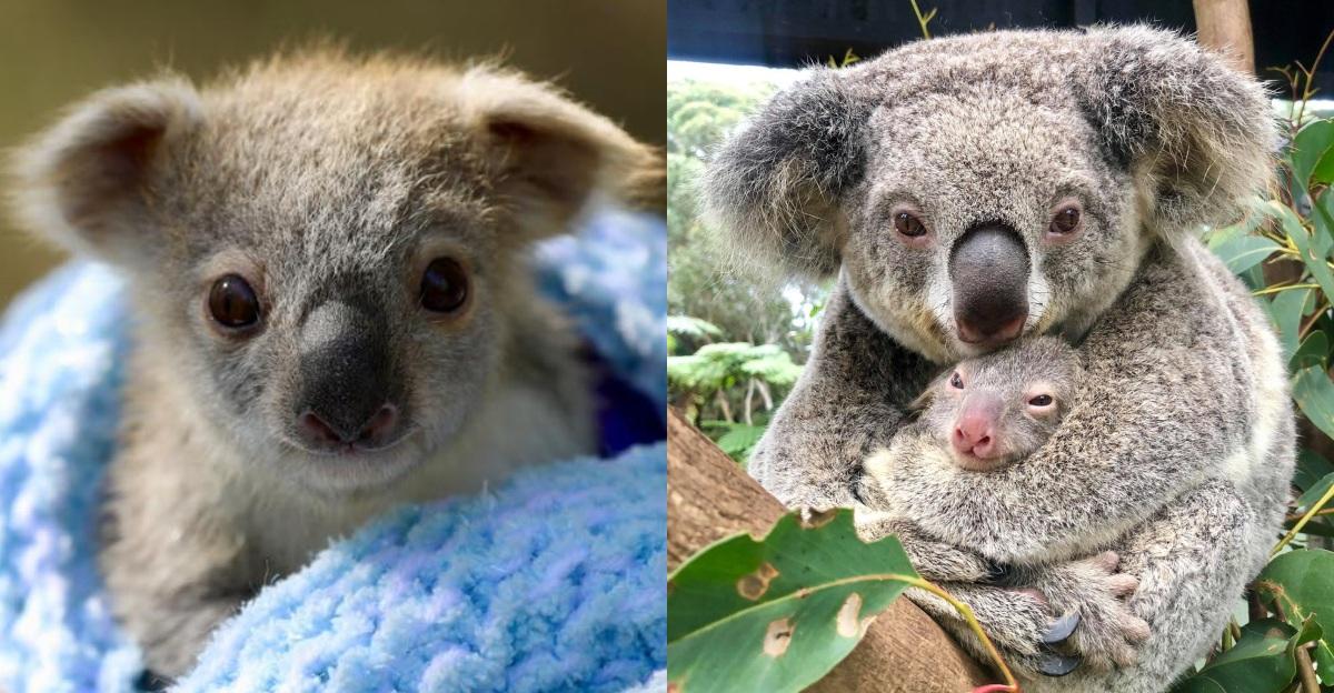 抱緊處理!澳洲超萌無尾熊寶寶為黑暗帶來曙光,森林大火後迎來新生!