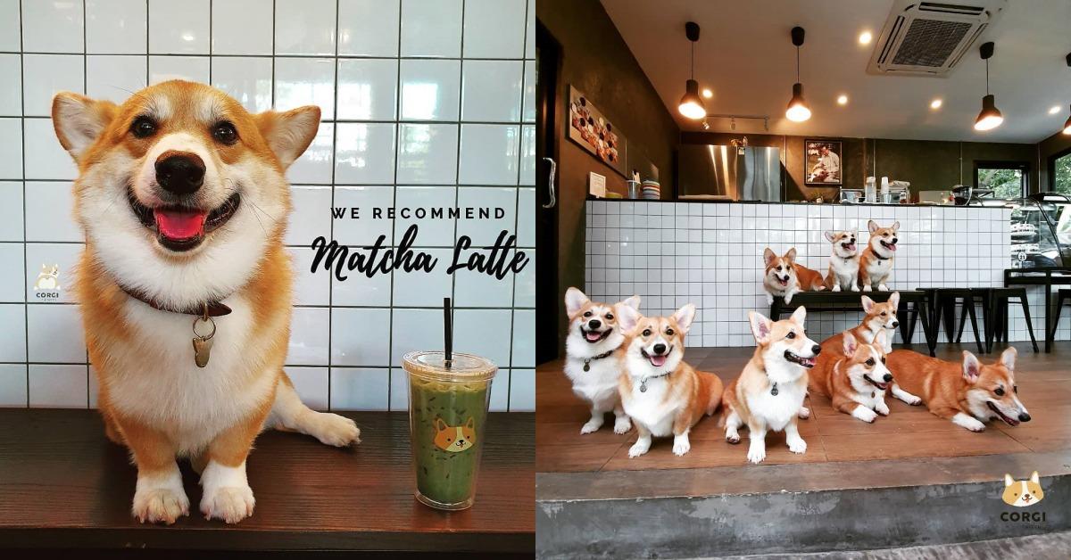 泰國爆紅柯基咖啡廳!最萌小短腿店員扭著愛心屁屁,一秒融化妳的心